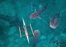 Enlace a Nadando junto a tiburones ballena