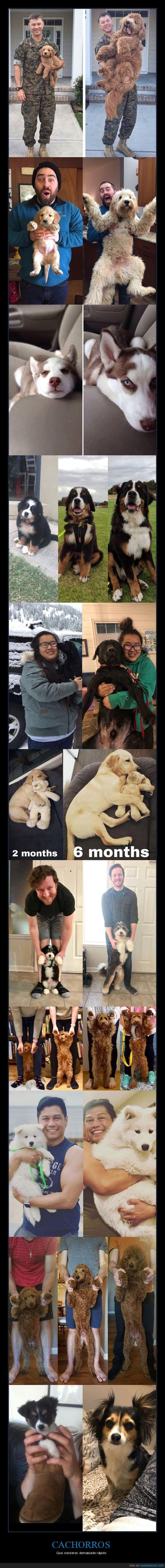 cachorros,crecer,perros