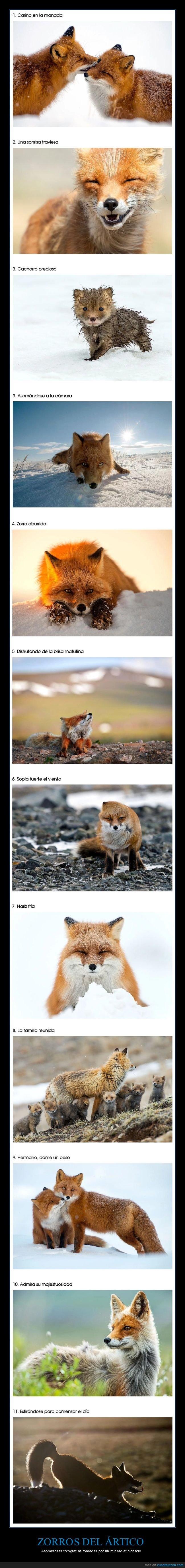 fotografía,zorros del ártico