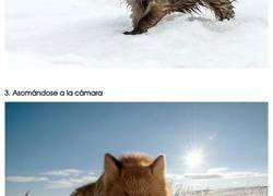 Enlace a Asombrosas fotografías de los zorros de ártico tomadas por un minero aficionado