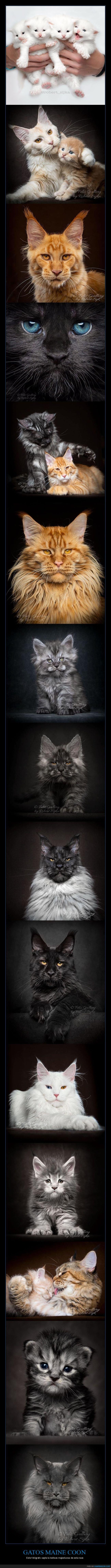 fotografía,gatos,maine coon
