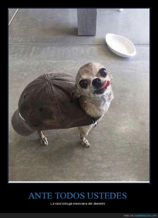 chihuahua,gorra,perro,tortuga