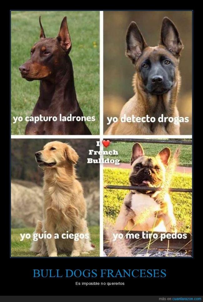 bull dog francés,pedos,perros,razas