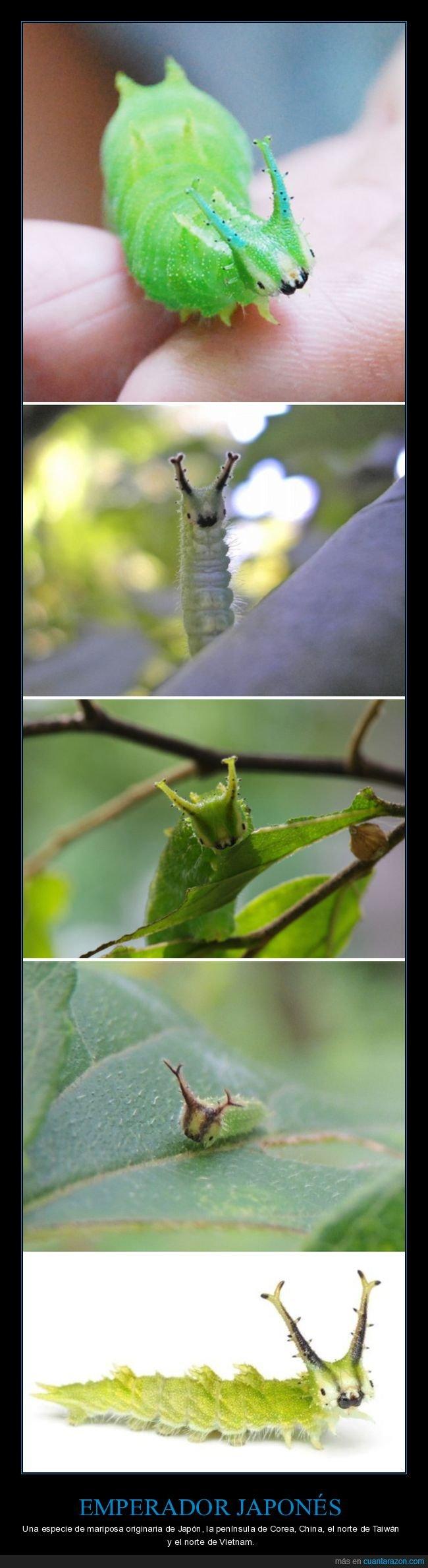 curiosidades,emperador japonés,mariposa,oruga