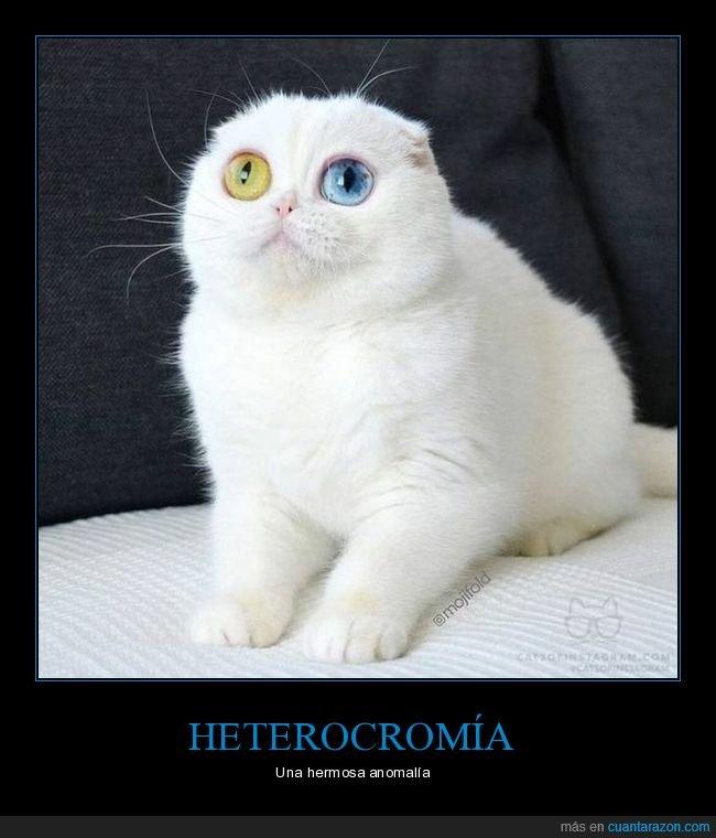 gatos,heterocromía,ojos