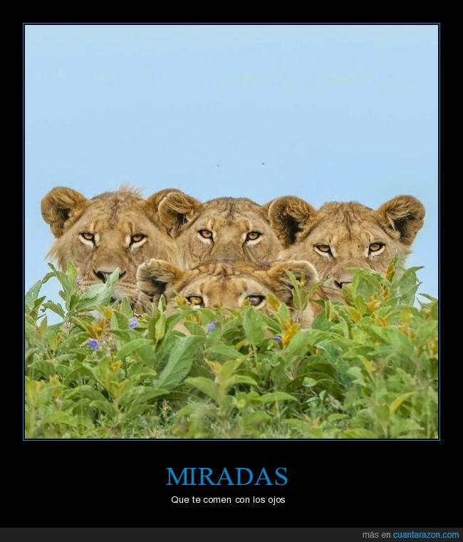 leones,mirando