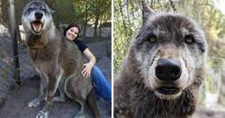Enlace a Cuando creció demasiado, el dueño dejó a este perro-lobo en un santuario para que lo sacrificaran, pero tuvo una segunda oportunidad.