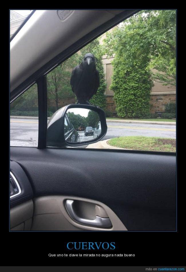coche,cuervo,mirando,retrovisor