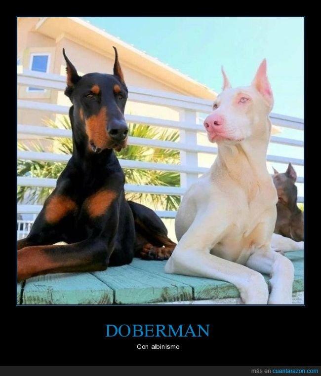 albino,doberman,perros