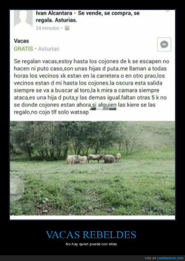 anuncio,facebook,regalar,vacas