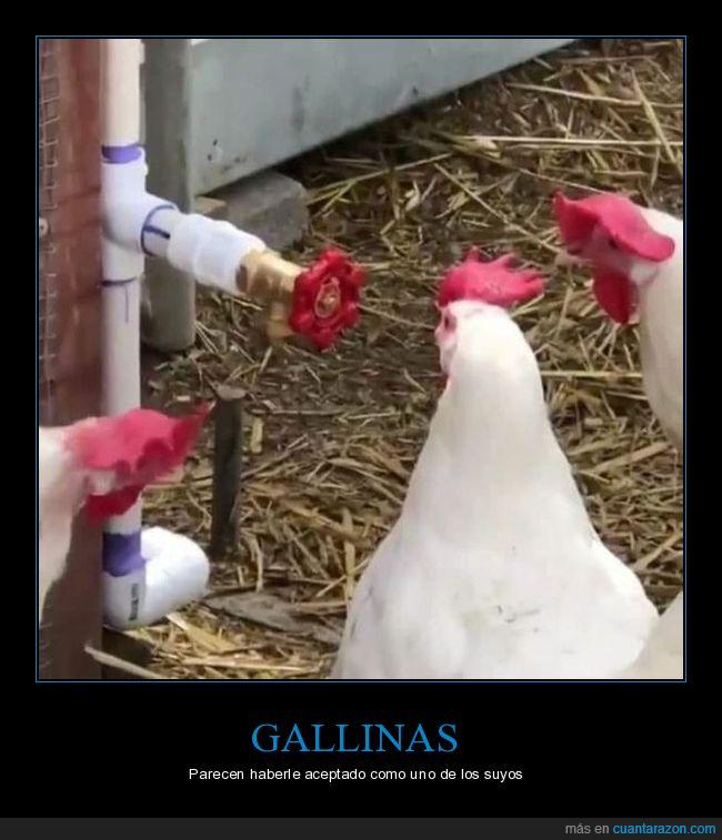 gallinas,grifo,wtf