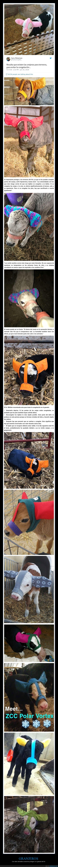 frío,ganado,granjeros,proteger