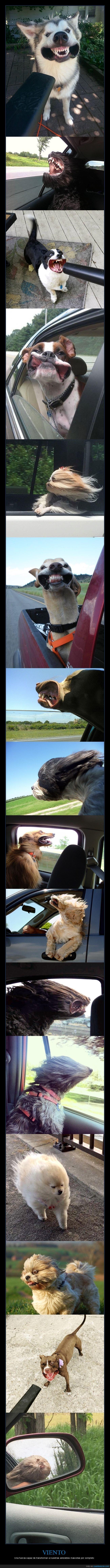 caras,perros,viento