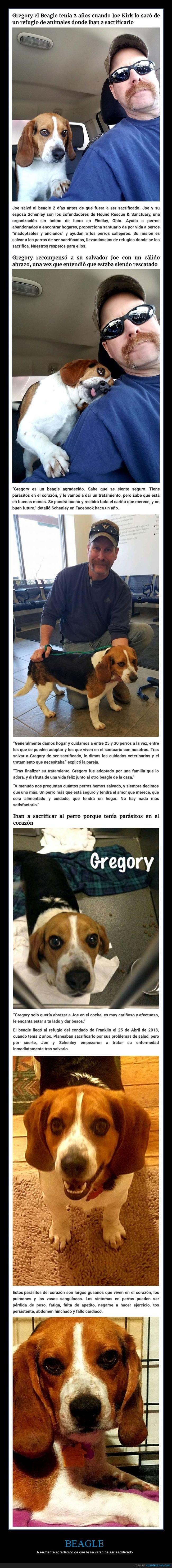 agradecido,beagle,perros,sacrificado