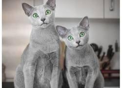 Enlace a Estos preciosos gatos de la raza azul ruso tienen los ojos más hipnotizantes