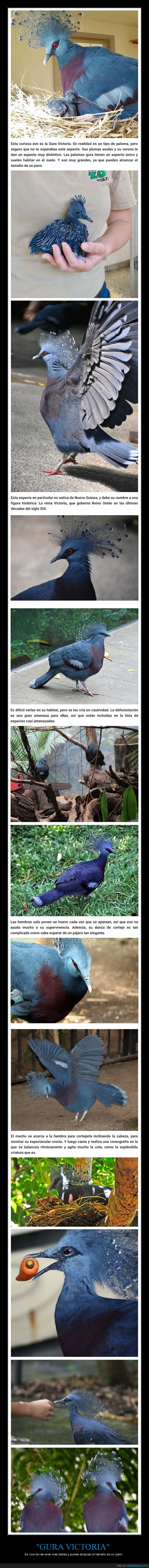 ave,curiosidades,gura victoria