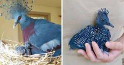"""Enlace a """"Gura Victoria"""" es una de las aves más bellas y puede alcanzar el tamaño de un pavo"""