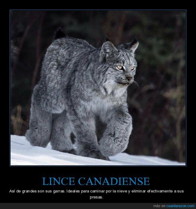 canadiense,curiosidades,garras,lince,patas