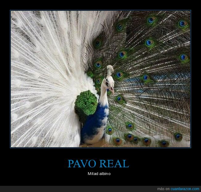 albino,mitad,pavo real
