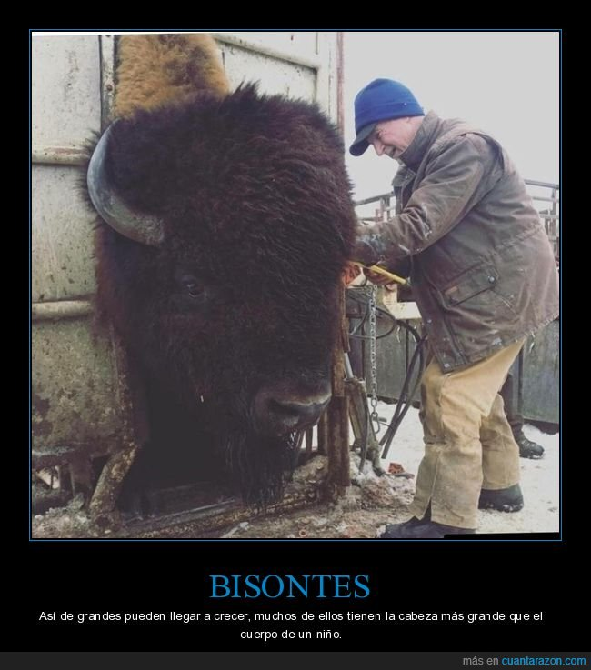 bisontes,gigante,tamaño