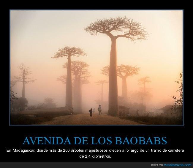 árboles,avenida,baobabs,madagascar