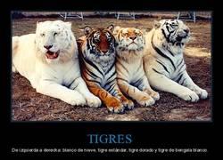 Enlace a Cuatro tigres de diferentes colores en una foto