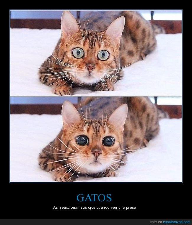 gats,ojos,presa