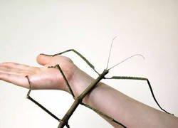 Enlace a El insecto más grande del mundo