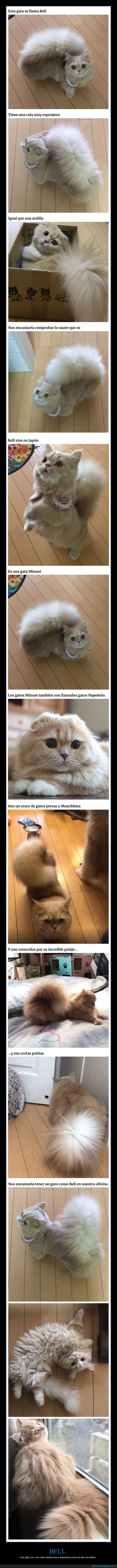 ardilla,cola,gato