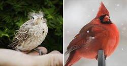 Enlace a El aspecto de distintas especies de aves cuando son adultas y polluelos
