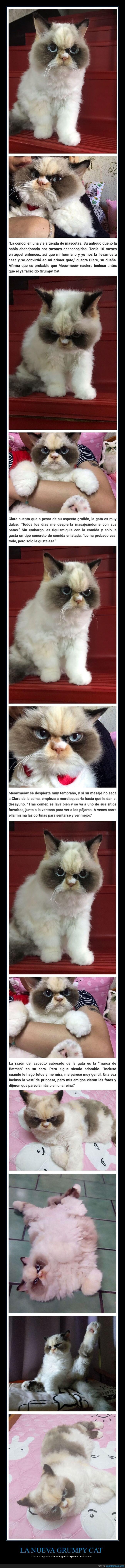 gato,grumpy cat,gruñón,nueva