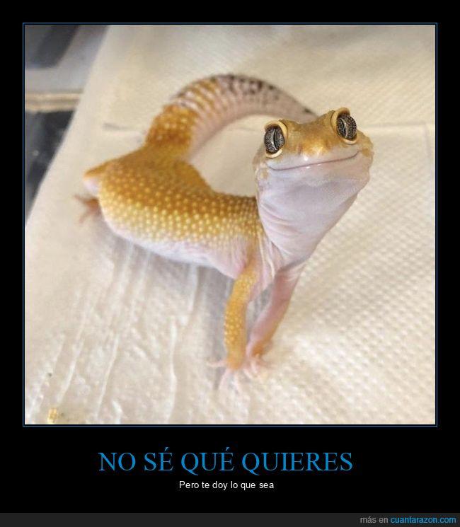 adorable,bonito,gecko