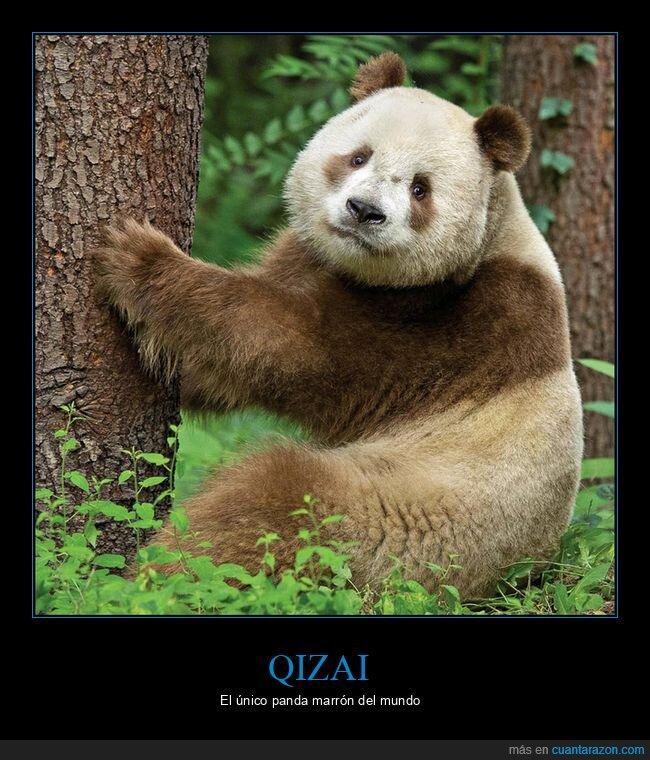 marrón,panda,qizai