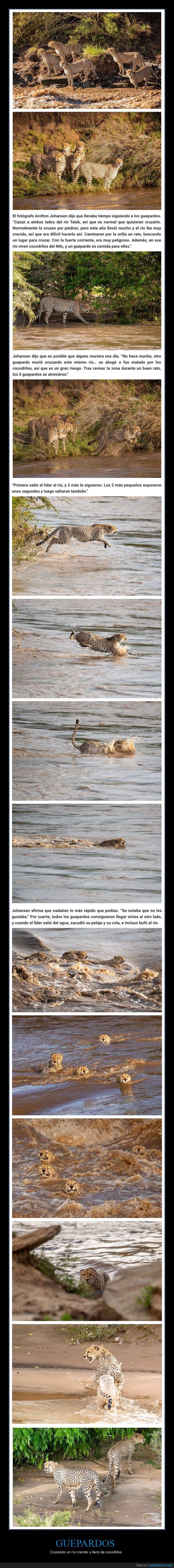 cocodrilos,cruzando,guepardos,río