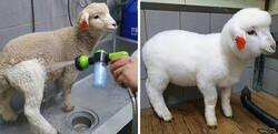 Enlace a Esta cafetería con ovejas en Corea comparte fotos virales del lavado de una oveja