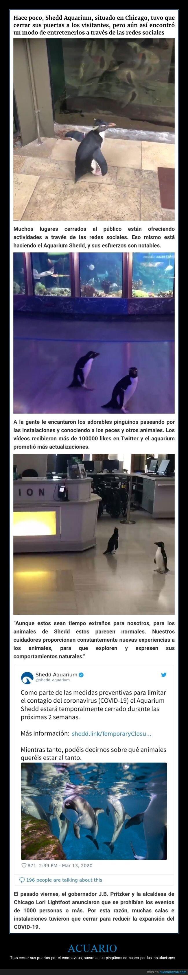 acuario,coronavirus,pingüinos