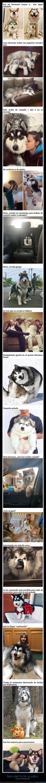 malamute,perros