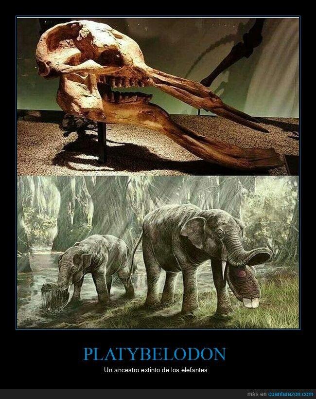 ancestro,elefantes,extinto,platybelodon