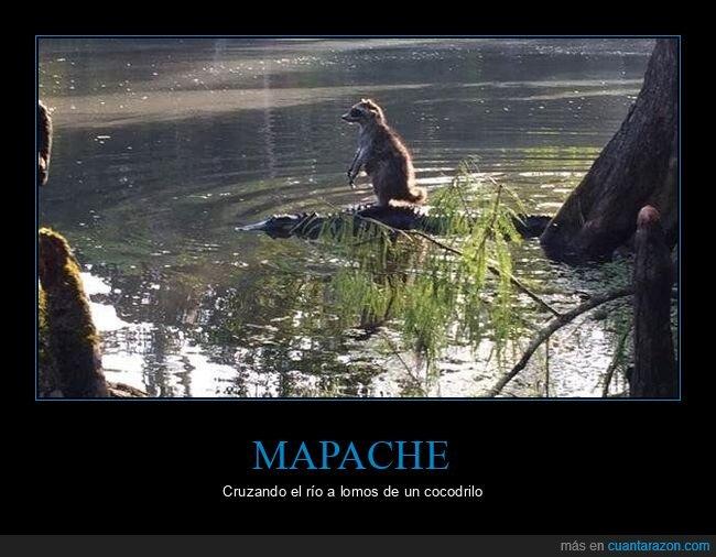 cocodrilo,mapache,río,wtf