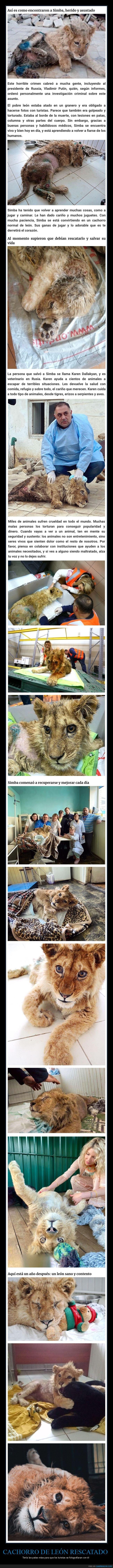 cachorro,león,patas,rescatado,rotas