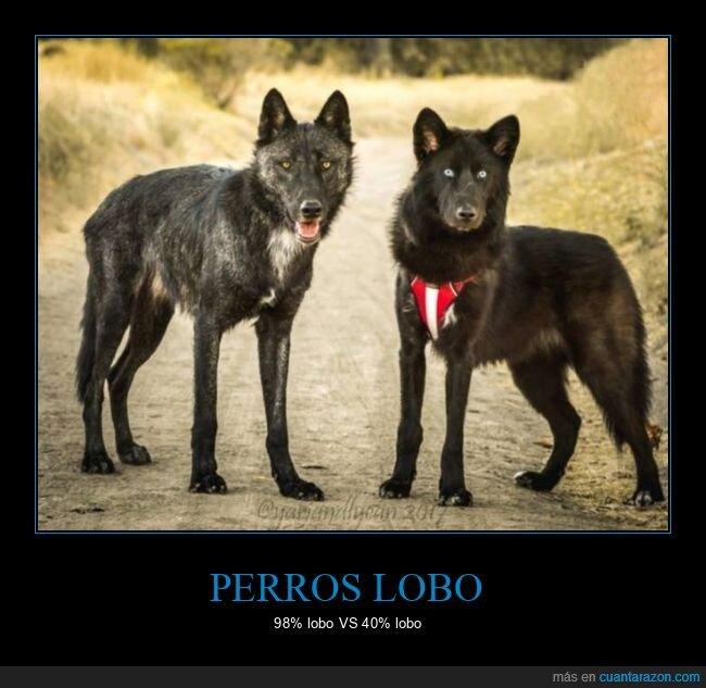 lobos,perros,perros lobo,porcentajes