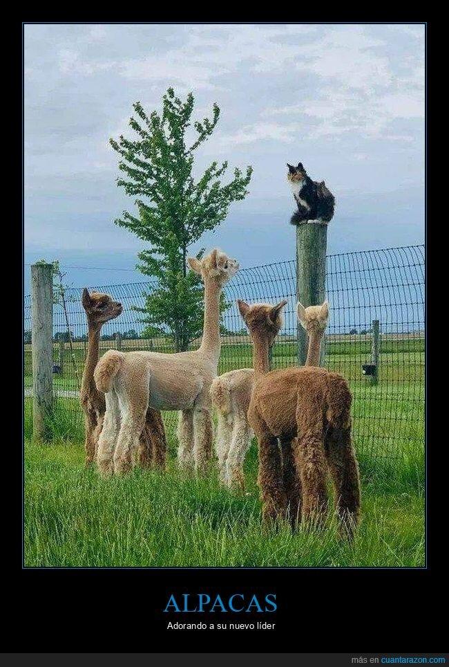alpacas,gato,wtf