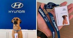 Enlace a Este perro callejero solía visitar un concesionario de Hyundai, y al final le dieron un trabajo y su propia placa