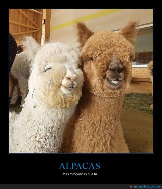 alpacas,fotogénicas