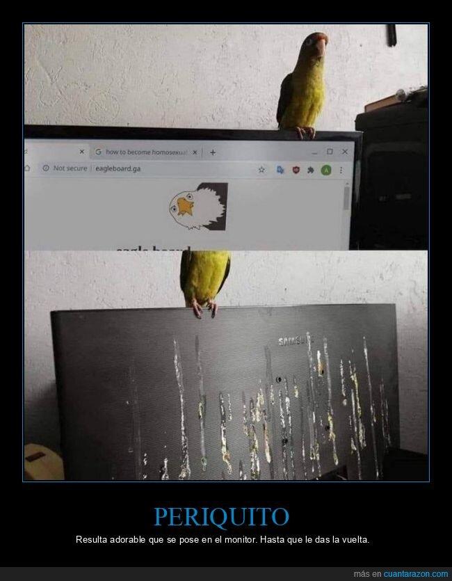 cagadas,monitor,pájaro,periquito