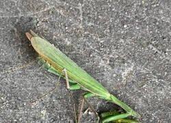 Enlace a Una mantis con suerte