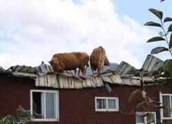 Enlace a Vacas en el tejado