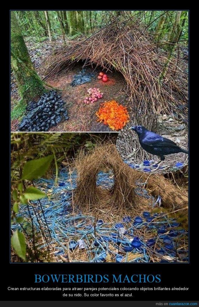 atraer,azul,bowerbirds,estructuras,pájaros,parejas