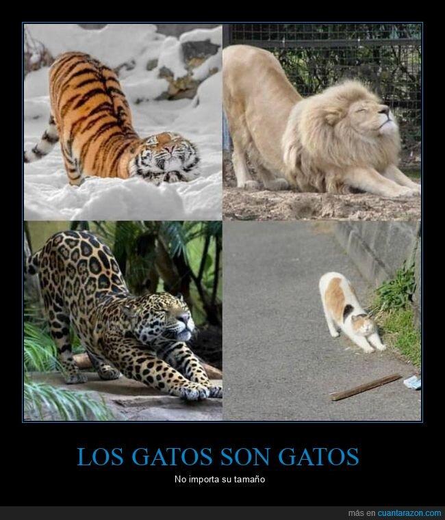 estirándose,felinos,gatos,león,leopardo,tamaño,tigre