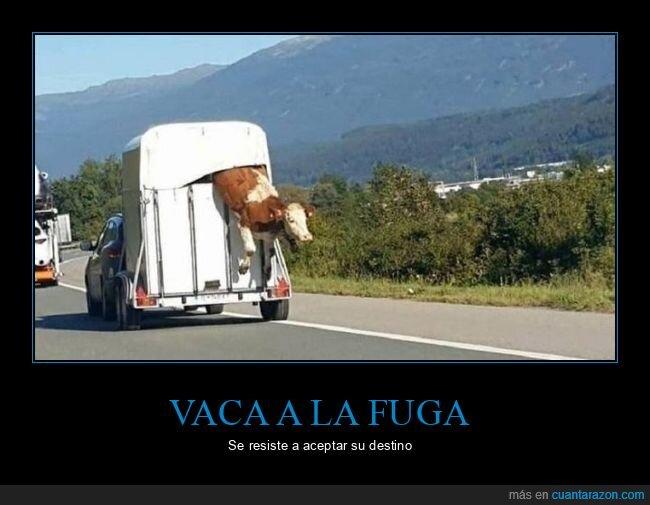 fuga,vaca,wtf